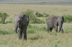 二头非洲大象 免版税库存照片