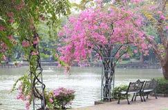 二把椅子和美丽的九重葛在公园开花 库存图片