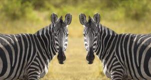 二斑马 免版税库存照片