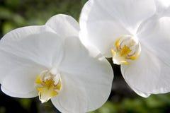 二朵兰花 库存图片