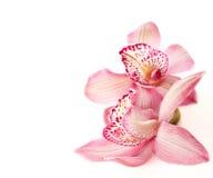 二朵桃红色兰花 库存照片