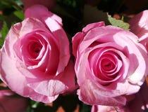 二朵桃红色玫瑰 库存图片