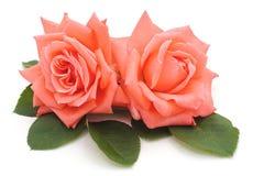 二朵桃红色玫瑰 免版税库存图片