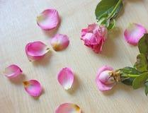 二朵桃红色玫瑰 免版税图库摄影