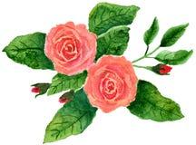 二朵桃红色玫瑰 库存照片