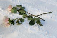 二朵桃红色玫瑰 图库摄影