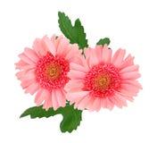 二朵桃红色雏菊花 库存照片