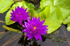 二朵紫罗兰荷花在池塘 库存图片