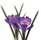 二朵紫色番红花花 库存照片