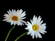 二朵雏菊花 库存照片