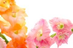 二朵颜色剑兰花 库存照片