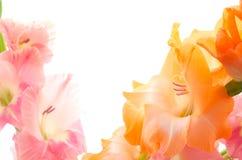 二朵颜色剑兰花 库存图片