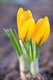二朵黄色番红花花 库存图片
