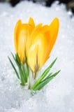 二朵黄色番红花 免版税库存图片