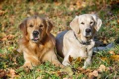 二条幼小秀丽狗纵向  免版税库存照片