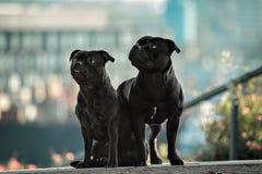二条斯塔福郡杂种犬狗 免版税库存图片