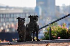 二条斯塔福郡杂种犬狗 免版税库存照片