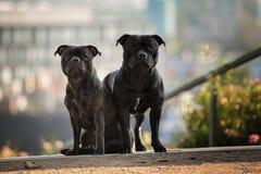 二条斯塔福郡杂种犬狗 库存图片