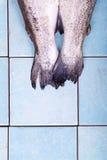二条新鲜的鳟鱼鱼 免版税库存图片