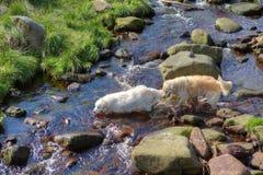 二条狗在水中 免版税库存图片