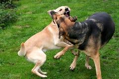 二条狗演奏战斗 免版税库存照片