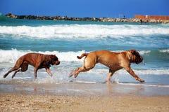狗追逐 免版税库存图片