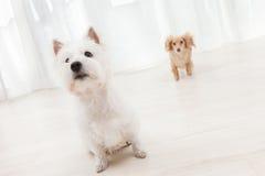 二条狗 图库摄影