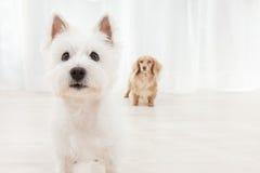 二条狗 免版税库存照片