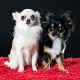 二条相当小的奇瓦瓦狗狗 库存图片
