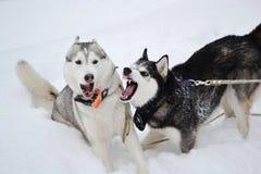 二条积极的狗 库存照片
