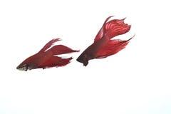 二条红色betta鱼去战斗 免版税库存照片