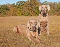 二条美丽的Weimaraner狗 库存图片
