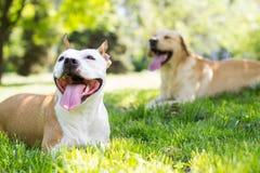 二条逗人喜爱的狗 库存图片