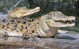 二条鳄鱼 图库摄影