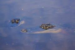二条鳄鱼 免版税图库摄影