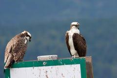 二根白鹭的羽毛 免版税图库摄影