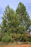 二棵杉树 免版税库存照片