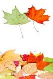 二槭树和许多停止的叶子 库存照片