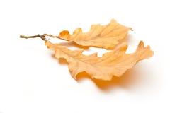 二片橡木叶子 库存照片