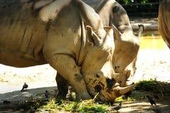 二犀牛 库存图片