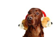 在帽子的爱尔兰赤毛的塞特种猎狗狗 免版税库存照片