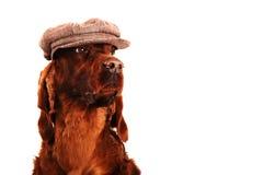 在帽子的爱尔兰赤毛的塞特种猎狗狗 免版税库存图片