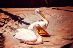 二白色鹈鹕 库存图片