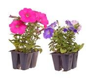 二盒桃红色和青开花的喇叭花幼木准备好为 库存照片