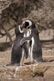 二突出在他们的嵌套前面的magellanic企鹅 库存照片