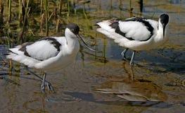 二群长嘴上弯的长脚鸟 库存照片