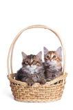 二蓬松小的小猫。 库存图片