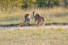 二豹子 免版税库存照片