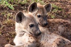 二躺下的鬣狗 免版税库存图片