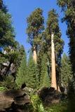 二重奏美国加州红杉结构树 库存照片